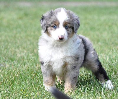 Blue merle female with long tail, blue eyes